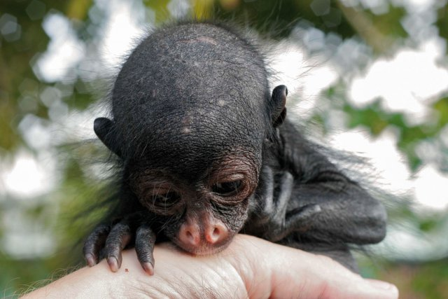 red faced spider monkey size